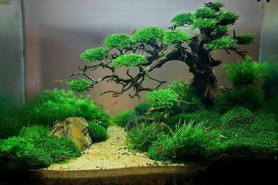 Bonsai Tree For Aquascape Driftwood Live Aquarium Plant Fish Tank Nano No Moss 29 99 Picclick Au
