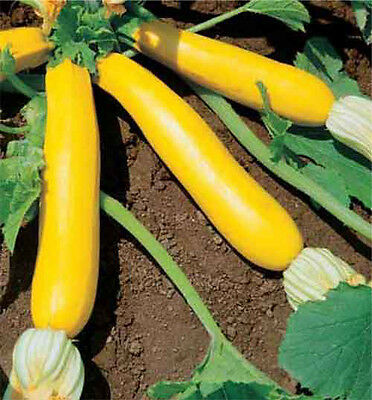 Squash Golden Zucchini 15+ Seeds Tender Delicious Prolific * COMBINED SHIPPING * 3
