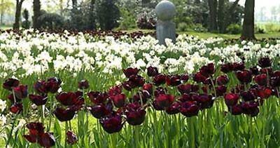 50Pcs Black-Purple Tulip Bulbs Root Flowers Balcony Perennial Plants Garden I2H8