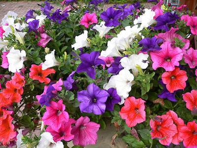 Trailing Petunia Balcony Mix - 0.6 Gram ~ Approx 4800 Seeds - Hybrida Pendula 3