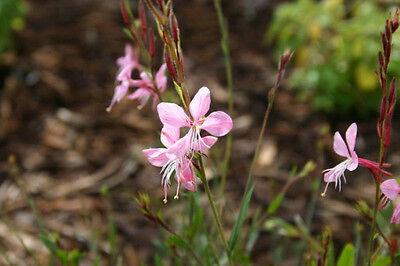 200 Mint Green Rose Seeds Rose seeds Butterflies love Flower Garden Seeds P I5G0