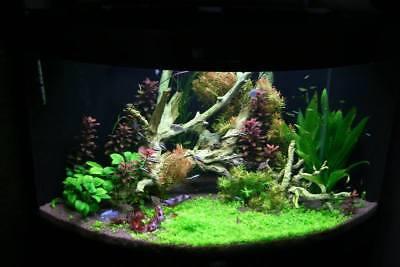Amazon Sword Echinodorus Bleheri Live Aquarium Plants Decorations Bundle Rooted 5