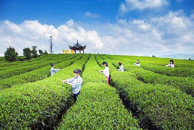 Thé Vert Haute Qualité Thé Jinoluan Thé 50g Super Lait Oolong Thé Santé Chinois 5