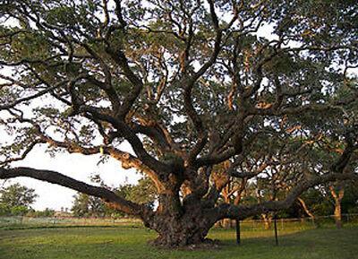 Quercus virginiana Southern Live Oak Evergreen 10 Seeds #Tree