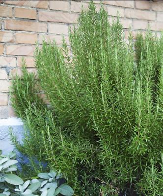 Petit plant de  Laurier Sauce 20 cm  pour  cuisiner  cuisine balcon