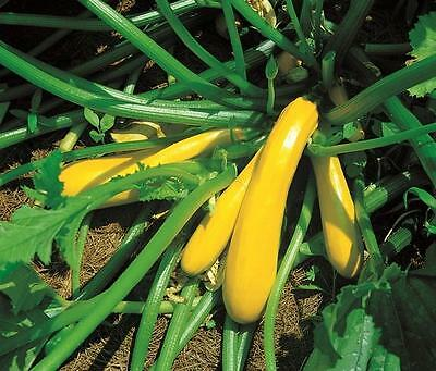 Vegetable  Courgette Yellow Golden  40 Seeds