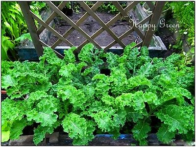 VEGETABLE - KALE - Borecole Dwarf Green Curled - 3500 seeds - Winter Hardy 4