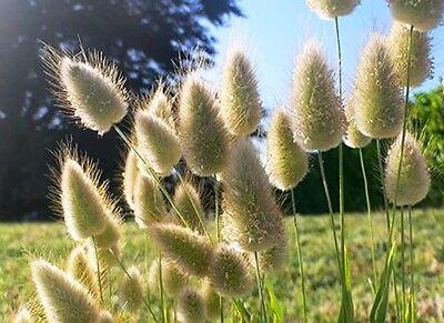 Ornamental Grass - BUNNY S TAILS - 600 SEEDS - Lagurus Ovatus - Annual 5