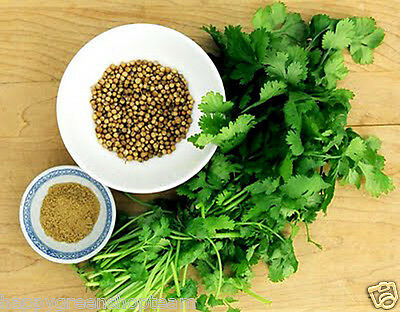 CORIANDER - 400 SEEDS - cilantro - Coriandrum sativum - Herb - HERBS 6