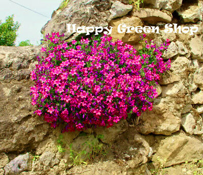 ROCK CRESS CASCADE RED - 300 SEEDS - Aubrieta cultorum hybrida - ROCKERY FLOWER
