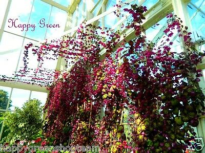PURPLE BELL VINE Rhodochiton Atrosanguineus  12 SEEDS - Great for hanging basket 3