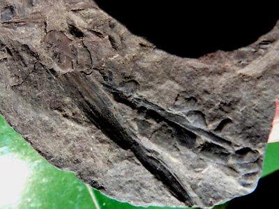 """Fosiles Helechos """" Fantastico Helecho Pecopteris+Calamites De Leon  -  9F18 """" 3"""