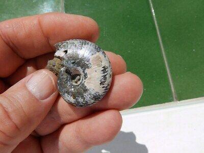 "Fosiles Ammonite "" Excelente Desmoceras Piritizado Del Jurasico De Rusia - 6A19"" 3"