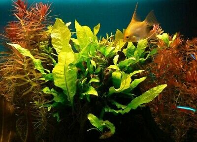 BUY 2 GET 1 FREE Java Fern Microsorum pteropus Live Aquarium Plants BEGINNER 3