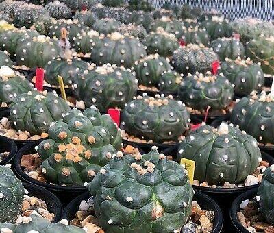Real Fresh Astrophytum asterias KIKKO NUDUM exotic rare japan cactus 10 SEED
