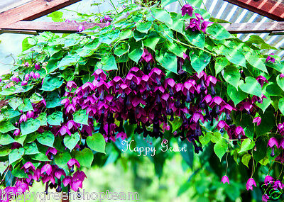 PURPLE BELL VINE Rhodochiton Atrosanguineus  12 SEEDS - Great for hanging basket 9
