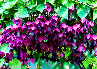 PURPLE BELL VINE Rhodochiton Atrosanguineus  12 SEEDS - Great for hanging basket 8
