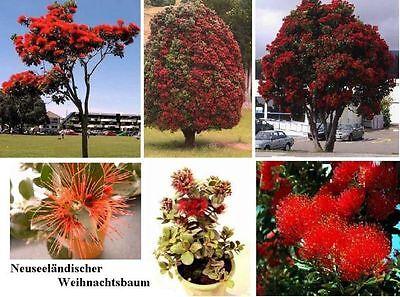 roter Weihnachtsbaum Metrosideros, wohlriechender Duftbaum gegen Insekten ❆Samen 2