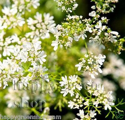 CORIANDER - 400 SEEDS - cilantro - Coriandrum sativum - Herb - HERBS 4