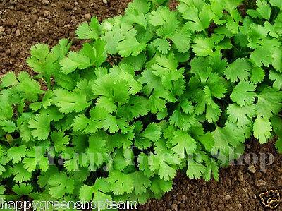 CORIANDER - 400 SEEDS - cilantro - Coriandrum sativum - Herb - HERBS 3