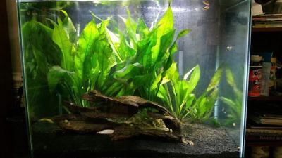Amazon Sword Echinodorus Bleheri Live Aquarium Plants Decorations Bundle Rooted 4