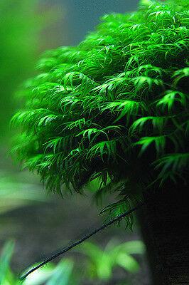 Fissidens fontanus Driftwood - aquarium en direct la mousse végétale 2 • EUR 48,20