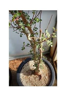 Graines B10 3x Pachycormus Discolor Elefantenbaum Jardin Plantes