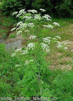 """100+ Organic NightShade Farm """"Poison"""" Hemlock Conium maculatum seeds 1/2 gram"""