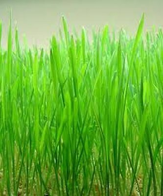 Economy pack of 250 Gms Sussex grown sweet Oat Grass seeds 2