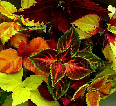 Coleus Blumei - Everest Formula Mix - 130 Seeds - Exotic Plant Seeds