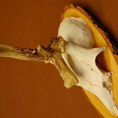 Anormal Asta de Ciervo Corzo Cornamentas con Abnormität sobre Acacia 5