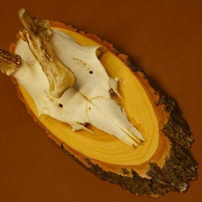 Anormal Asta de Ciervo Corzo Cornamentas con Abnormität sobre Acacia 11