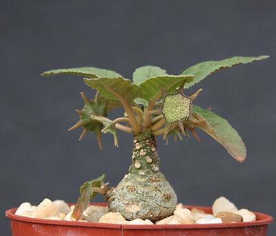 Dorstenia Foetida LAV 20542 @ rare succulents caudex bonsai cactus seed 50 SEEDS