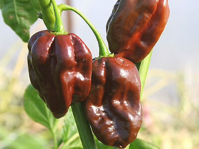 Vegetable  Hot Chilli Pepper Habanero Chocolate  60 Seeds 3
