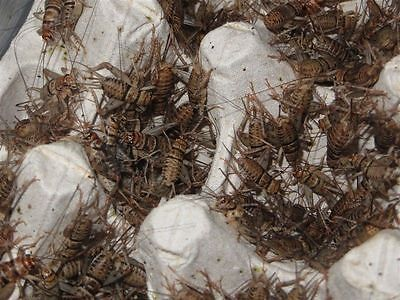 Live Crickets - All Sizes 500 - 10,000 Free Shipping $19.99/500 $28.99/1000 2