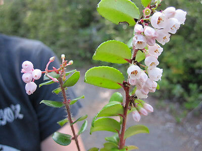 100 GARDEN HUCKLEBERRY Ground Cherry Solanum Melanocerasum Berry ...