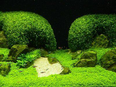 Hemianthus callitrichoides Cuba pot  plante aquarium avant plan crevettes