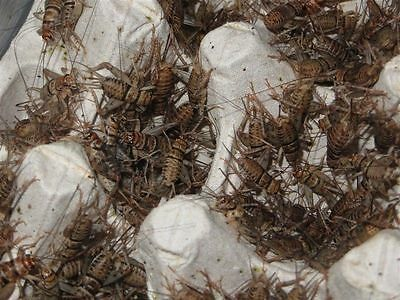 Live Crickets - 1000 Count - All Sizes $28.99 Free Shipping Bulk Insects 3