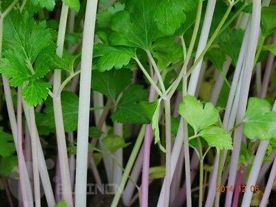 Red celery seeds Vegetable seed Apium graveolens organic heirloom home garden 2
