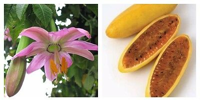 Passiflora Mollissima Edible Banana Passion Fruit Flower Plant