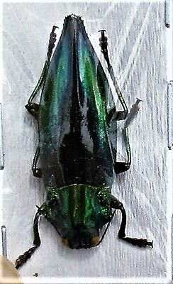 Lot of 2 Kei Island Painted Jewel Beetle Cyphogastra calepyga FAST SHIP FROM USA