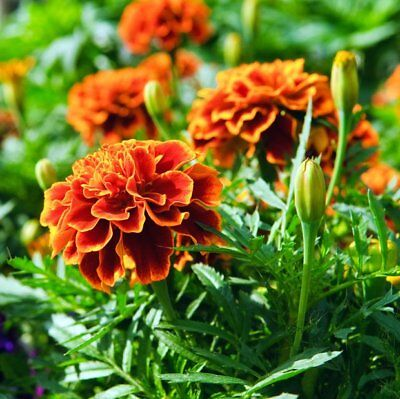50 Graines de fleurs d/'Oeillet d/'Inde Méthode BIO anti puceron ami jardin légume