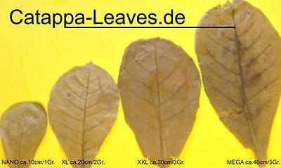 >20 Seemandelbaumblätter ca.35 cm - Catappa-Leaves - Sonderaktion 2