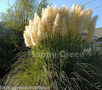 PAMPAS GRASS - WHITE FEATHER - 200 seeds - Cortaderia selloana - PERENNIAL 2
