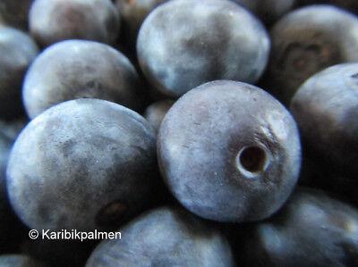 3er - Paket  Blaubeere - Heidelbeere - winterharte Pflanze 30-50cm - Vaccinium