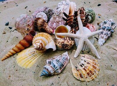 Starfish and Mixed Medium Shells (13 Shells) Sea Shells, Beach Seashells