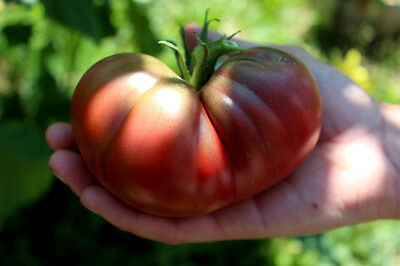 Tomato Black Giant  Early Fantastic Flavor Organic Heirloom Seeds Combined Ship