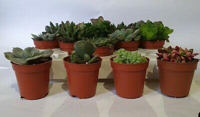 Tray of 20 Assorted Succulents plants - 5.5cm Pot 2