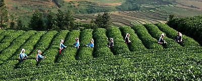 Bestnote schwarzer Oolong-Tee-natürlicher Tee Tieguanyin 50g schwarzer Tee Tea 10