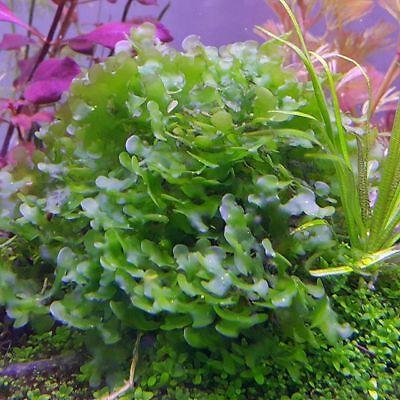 Musgo Pellia musgo para acuario planta antialgas antinitritos peces envio gratis 7